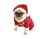 Pug christmas costume. Pug in santa costume, exempted, white background, dressed as santa claus, dog looking at the camera Stock Photography