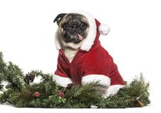 Pug in Christmas Costume sitting in front of white background. Isolated on white stock image