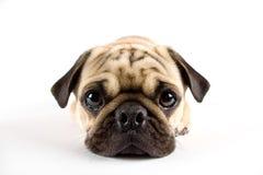 Pug close-up Royalty-vrije Stock Fotografie
