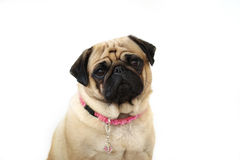 Pug Closeup. Pretty Female Pug staring at the camera and isolated on white Royalty Free Stock Photos