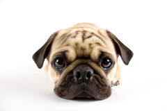 Pug closeup royalty free stock photography