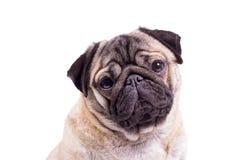 Pug closeup Royalty Free Stock Photo