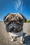Pug in closeup Royalty Free Stock Photography