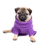 Pug in clothes Stock Image