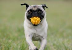 Pug com esfera amarela Fotos de Stock Royalty Free