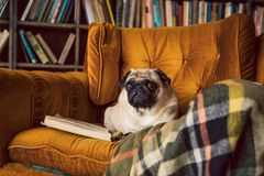 Smart reading dog. Pug comfortably lies on the chair in the library. Pug comfortably lies on the chair in the library. Smart reading dog Royalty Free Stock Images