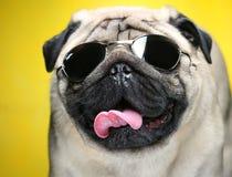 Pug con gli occhiali da sole. fotografie stock