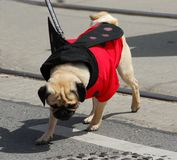 Pug in a costume Royalty Free Stock Photography