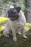 Pug in the country royalty free stock image