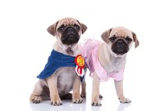 Pug couple in halloween costumes ready to go out. Pug couple in blue cape and pink dress ready to go out on halloween day, on white background Stock Image