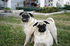 Pug Crossing. Two pugs, one standing across the other Royalty Free Stock Photography