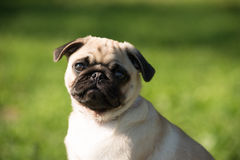 Pug. Cute baby pug in park royalty free stock images