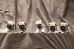 Pug cute dog puppy Stock Photography