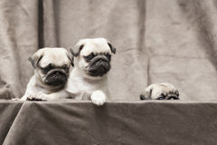 Pug cute dog puppy Royalty Free Stock Images
