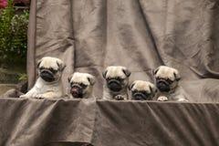 Pug cute dog puppy Royalty Free Stock Photos