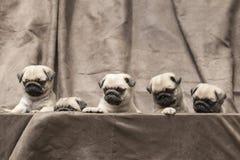 Pug cute dog puppy Stock Photo