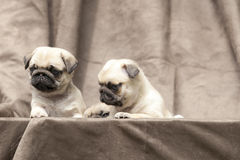 Pug cute dog puppy Royalty Free Stock Photography
