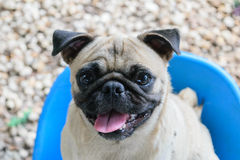 Pug the cute dog Royalty Free Stock Images