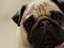 Pug. Cute Pug Puppy stock image