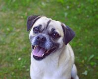 Pug cute smiles to a man with a camera royalty free stock photos