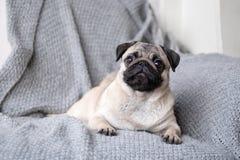 Pug da raça do cachorrinho que encontra-se no sofá imagens de stock