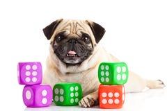 Pug de hond op witte achtergrond wordt geïsoleerd dobbelt huisdier en stuk speelgoed hond die Stock Foto