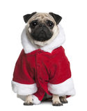 Pug in de laag van de Kerstman, 2 Jaar oud Stock Afbeelding