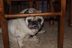 Pug de stoel is mijn verbergende vlek stock afbeeldingen