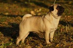 Pug della razza del cane Fotografie Stock Libere da Diritti