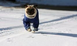 Pug dello Snowy Fotografia Stock