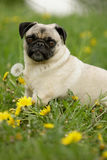 Pug in den Blumen Stockfotos