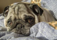 Pug, der auf einem sonnigen Morgen aufwacht stockfoto