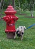 Pug, der auf Feuerhydranten pinkelt Stockfotografie