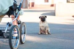 Pug, der auf der Straße glücklich und zufrieden gestellt sitzt lizenzfreie stockfotografie
