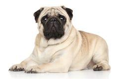 Pug, der auf weißem Hintergrund liegt Stockfotos