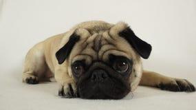 Pug, der aus den Grund legt Lizenzfreie Stockbilder