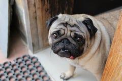 Pug, der für ein Foto lächelt stockbild