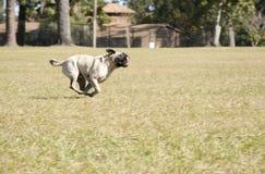 Pug, der am Hundepark läuft Stockbilder
