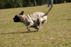 Pug, der am Hundepark läuft Stockfoto