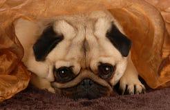 Pug, der unter Decke sich versteckt Stockfotografie