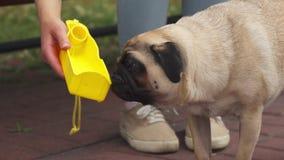 Pug, der von einem Becken trinkt stock footage