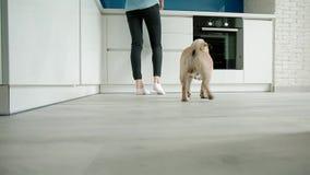 Pug die aan de keuken komen stock footage