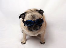 Pug die Beschermende brillen draagt Stock Foto's
