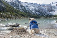 Pug do animal de estimação que senta-se no seu que enfrenta para trás a lagoa fotos de stock
