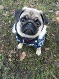 Pug do cachorrinho no equipamento bonito do inverno Imagens de Stock Royalty Free