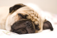 Pug dog. Calmly sleeping on bed stock image