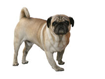 Pug Dog. Isolated photo of a fawn pug standing against a white background royalty free stock photography