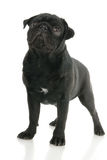 Pug dog Stock Images