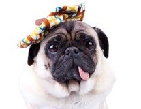 Pug dog. Cute  pug dog  wearing  a funny hat Stock Photo