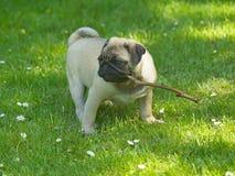 Pug Dog Stock Image